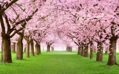 Fun Facts about Cherry Blossoms!